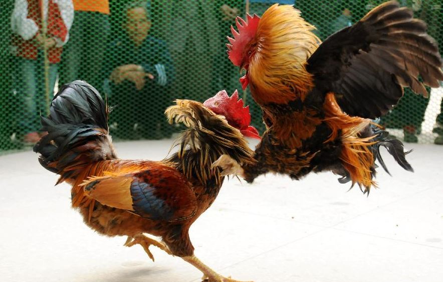 What You Might Not Know About Cockfighting Betting